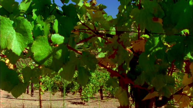 Wide shot pan past vines to vineyard and hills/ Napa Valley, California