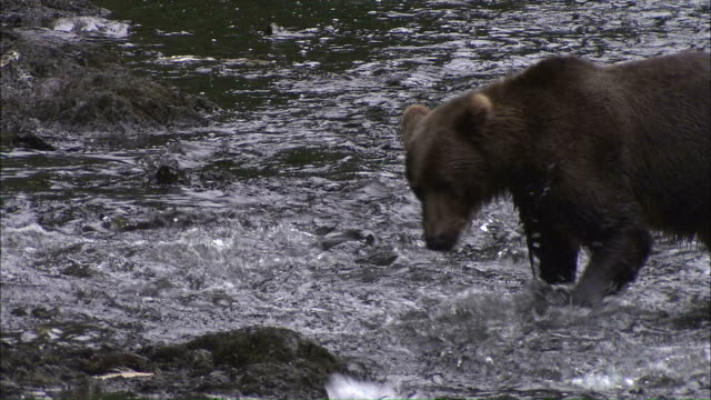 Wide Shot pan-left pan-right zoom-in - A Kodiak brown bear fishes in a shallow stream / Afognak, Alaska, USA