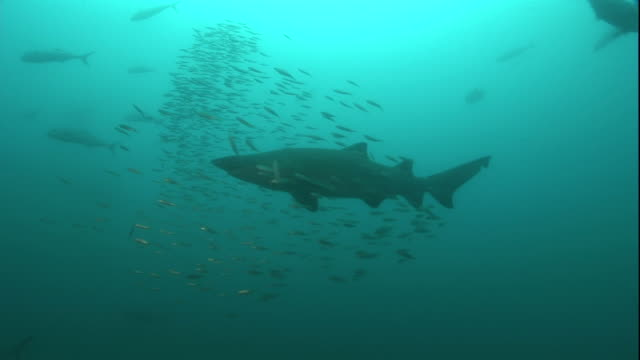 Wide Shot pan-left push-in - A large shark swims with a school of small fish. / Atlantic Ocean