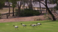wide shot park exercise station gym equipment under sun shade sail ibis birds graze on grass nearby / close up three ibis birds stand on grass in...