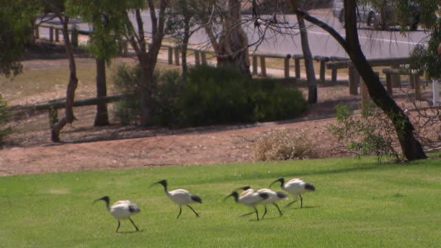 wide shot park exercise station gym equipment under sun shade sail ibis birds graze on grass nearby / close up three ibis birds stand on grass in...