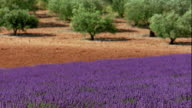 wide shot rack focus wind blowing through field of lavender flowers + olive trees in background / France