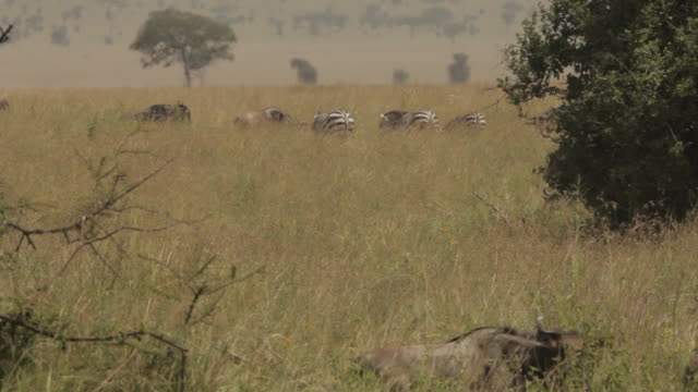 Wide shot showing wildebeest moving in the foreground while zebra stand in the background, Tanzania.