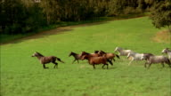 Wide shot side view pack of horses running in field