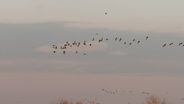 Wide Shot - slow motion - Flock of Sandhill Cranes are fly majestically through the sky.