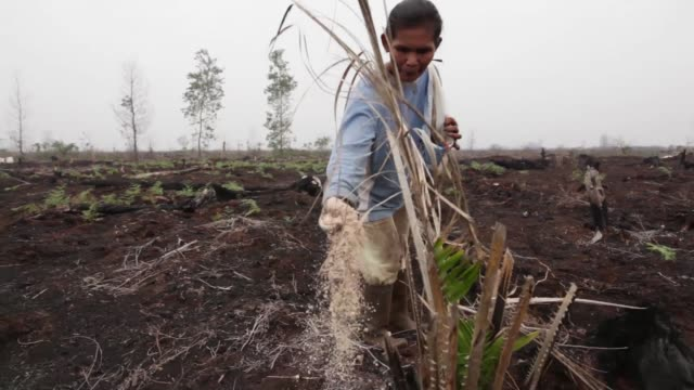 Wide shot smoke rising from burnt off vegetation caused by forest fires in Riau Province A plantation worker hoses down burnt off vegetation from...