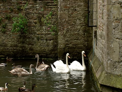 2003 Wide shot Swans and ducks swimming in moat and pulling rope attached to bell outside castle/ Southampton, Hampshire, England