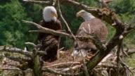 Wide shot tilt up bald eagle parents and chick in nest / Alaska
