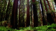 Wide shot tilt up trees in Redwood National Park / California