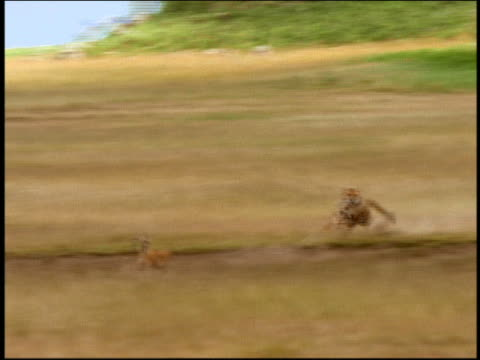 wide shot tracking shot cheetah chasing Thomson's gazelle through tall grass / Serengeti, Tanzania, Africa