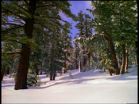 Wide shot trees in snow covered forest
