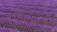 wide shot wind blowing through field of lavender flowers / France
