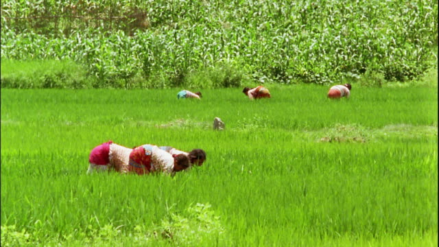 Wide shot women stooping in rice paddy / Nepal