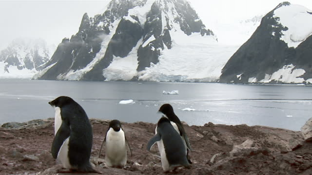 Wide shot Young Adelie penguins feeding each other on rocky beach/ Paulet Island, Antarctica