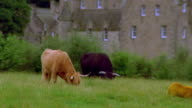 Wide shot zoom out sheep and cattle grazing in field in front of Cawdor Castle / near Inverness, Scotland