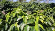 Wide shots of Coffee fields affected by the roya fungus in Veracruz Huatusco Mexico Shots focus on the coffee fields and less on damaged crops Close...