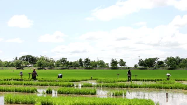 Wide view farmer working in rice field
