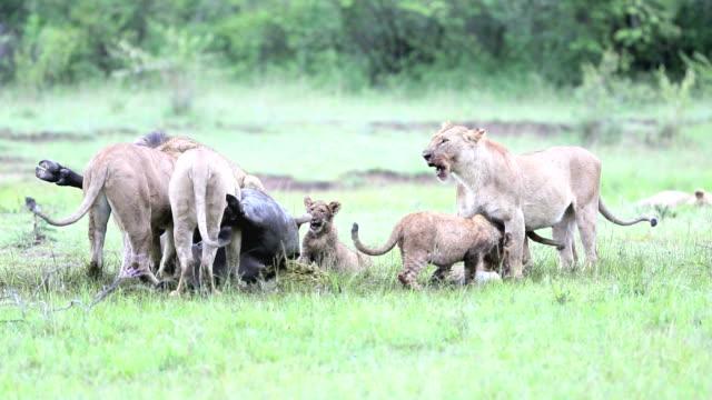 Wild African Lion eating a freshly killed Buffalo