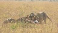 Wild African Lioness feeding