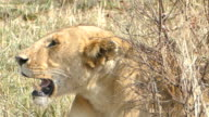 Wild African Lioness resting after preying
