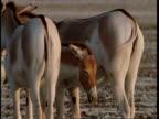 MCU Wild Ass foal standing in-between rumps of 2 adults, Gujarat, India