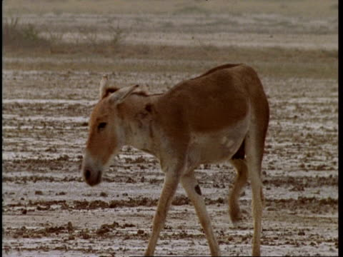 MS Wild Ass (tail missing) wandering through barren landscape, irritated by flies, Gujarat, India