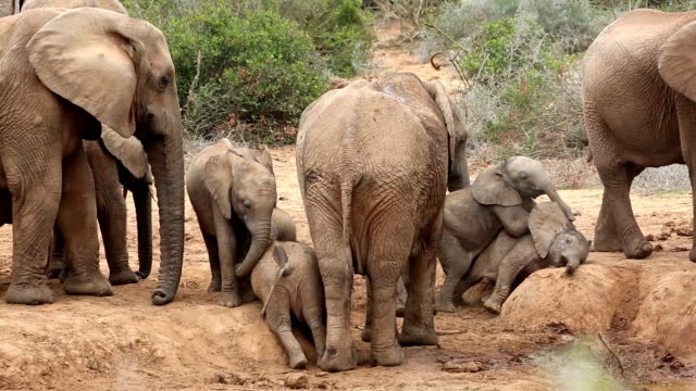 Wild Baby Elephants Play Humping in South Africa