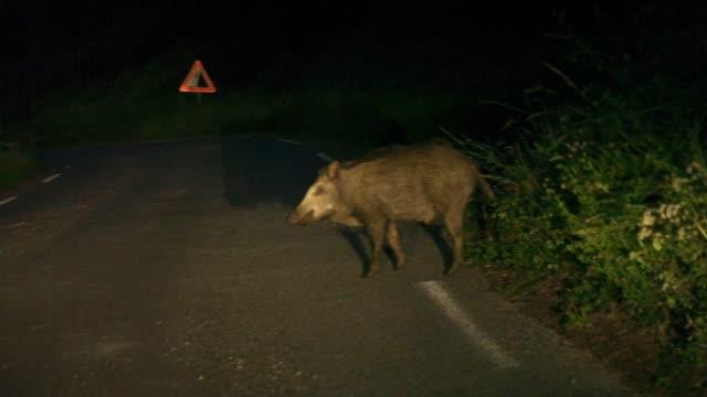 Wild boar crossing road at night