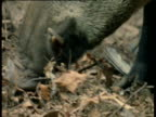 Wild Boar snout as it forages amongst leaf litter, Europe