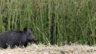 Wild Boar (Sus scrofa)
