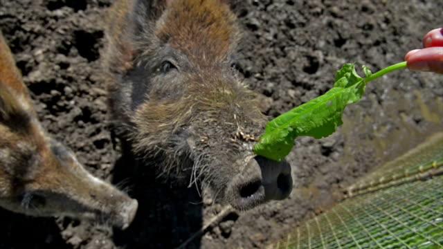 Wild Boars Close up