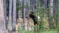 Wild Bull Elk Sharpening Antlers on Tree