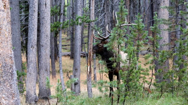 Wild Bull Elk Sharpening Antlers on Tree