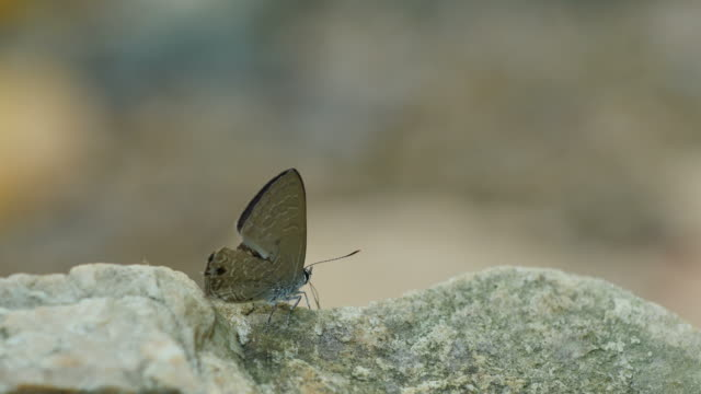 Wild butterfly is licking the stone.