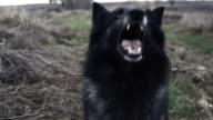 CU PAN Wild dog barking / Bilbao, Vizcaya, Spain.