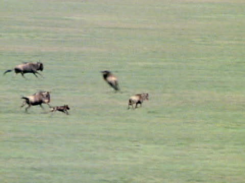Wild dogs running along side Wildebeest and calf in open plain