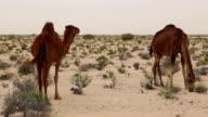 Wild dromedaries in the desert near Douz / Tunisia