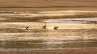 WS Wild ducks at river during sunset / Lukuzi, Eastern, Zambia