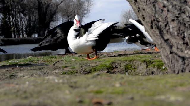 Wild ducks in nature