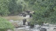 Wild Elephant herd walking across jungle river.