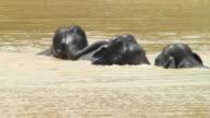Wild elephants in pond ,HD