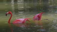 Wild Flamingo Pink Bird in the Cuban Countryside.
