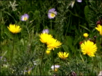 Wild flowers including Dandelions (Taraxacum sp.) and Morning Glory, Parque Natural Los Alcornocales (Cadiz y Malaga), Andalucia, Spain