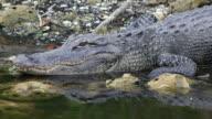 Wild Gator