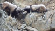 Wild goat population recording in Adana Turkey on December 29 2016 According to Erdal Ceylan head of Adana Institute of National Park and Natural...