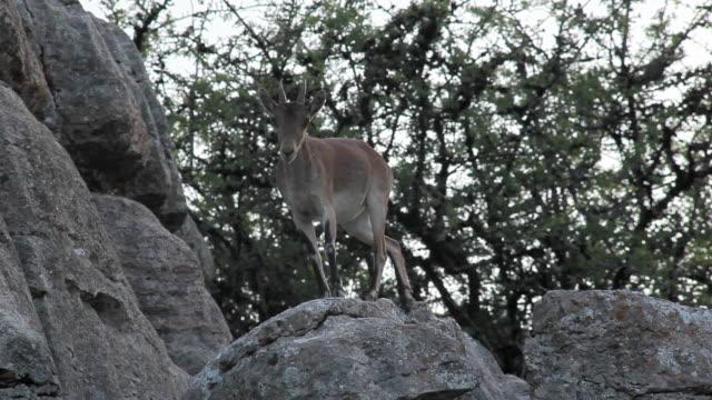F/S wild goat