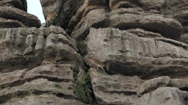 L/S wild goats climbing