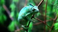 Wild green chameleon