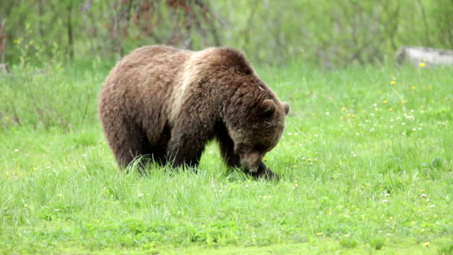 Wild grizzly bear eating clawing grazing National Forest Wyoming