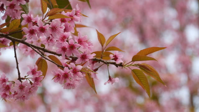 Vilda Himalayan Cherry, Prunus cerasoides